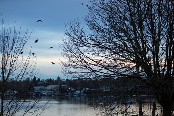 <p>Crows fly north toward downtown Portland, Oregon, Thursday, Jan. 3, 2019.</p>