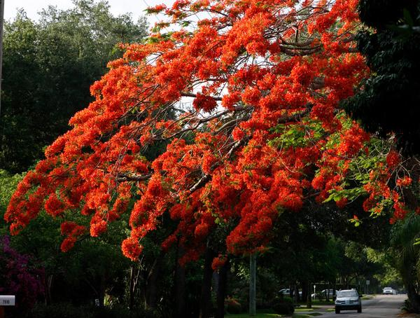 The 82nd Royal Poinciana Fiesta begins on Saturday in Coral Gables and will include lectures, workshops and trolley tours around the neighborhood.