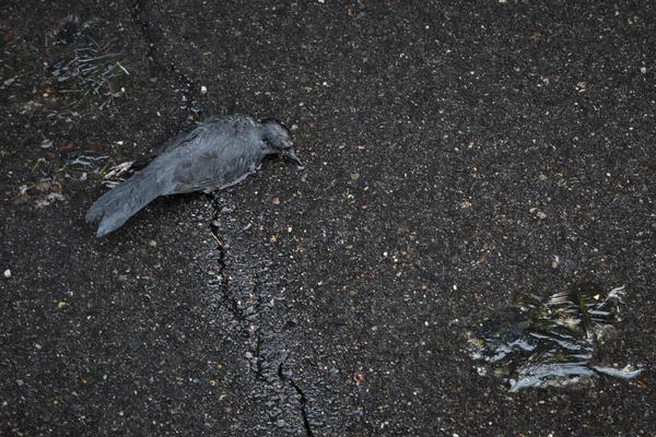 Two of eight birds found behind a Washtenaw District Court building in downtown Ypsilanti. Bird collision monitors say the birds hit the building's glass and die on the parking lot of the adjacent apartment complex.
