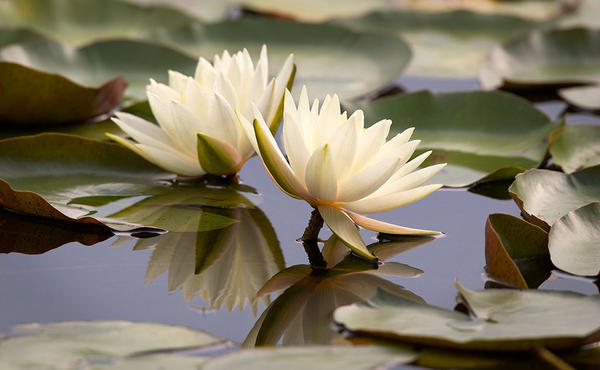 This photograph by Henry Domke of a waterlily has sold more than 150 times to clinics and hospitals nation-wide.