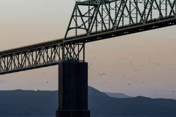 Cormorants returned to the Astoria Bridge to roost at nightfall on June 3, 2019.