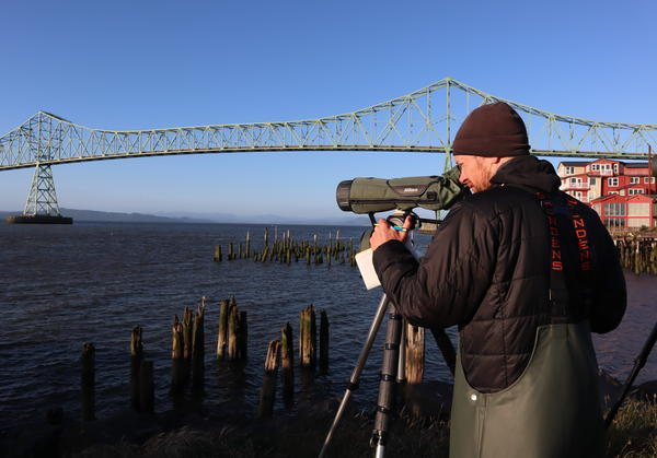 ODFW biologist James Lawonn counts the multitude of cormorants who have taken up residence under the Astoria-Megler Bridge.