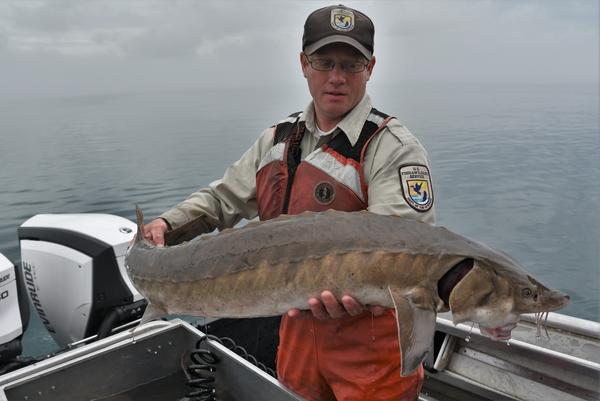 Justin Chiotti with the U.S. Fish and Wildlife Service holds one of the smaller Lake Sturgeon caught during the day.