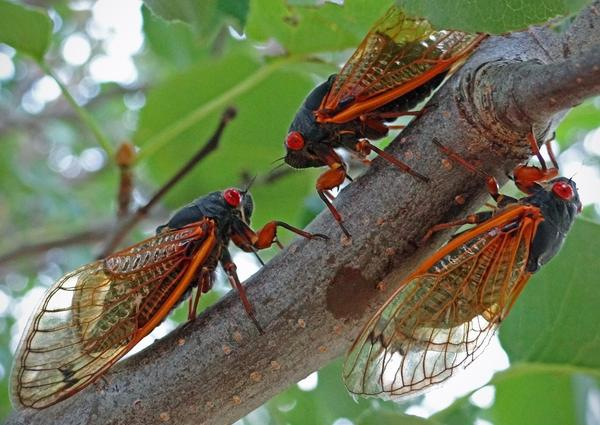 The Magicicada cassini cicada species is the only member of Brood VIII, a group recently documented for the first time in Oklahoma.