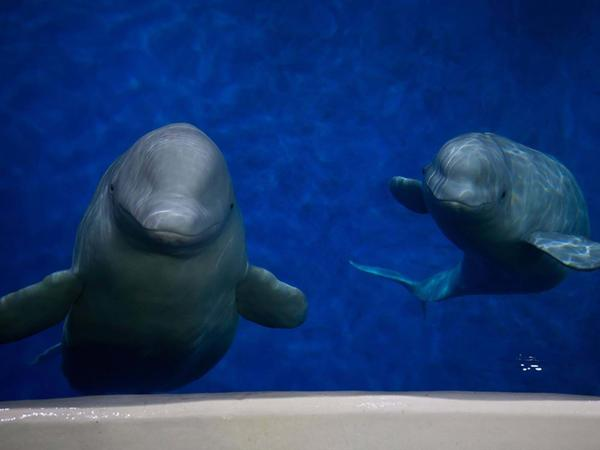 Two beluga whales have completed their long and complicated journey from China to Iceland.
