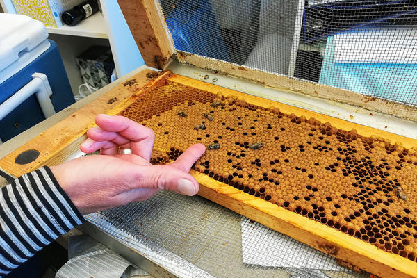 Professor Michelle Flenniken points to emerging adult bees in her lab at Montana State University, June 19, 2019.