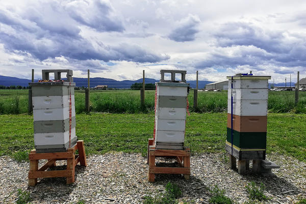 Hives at MSU's Honey Bee Research Site are protected by a bear-proof fence, June 19, 2019.