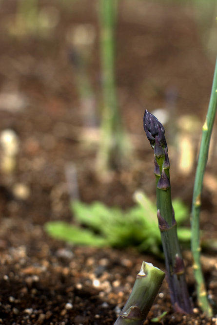 "Asparagus was a prime part of Jefferson's garden and received ""uncommon attention,"" according to Hatch. Jefferson took pride in documenting when his asparagus first pushed through the ground and first came to the table."
