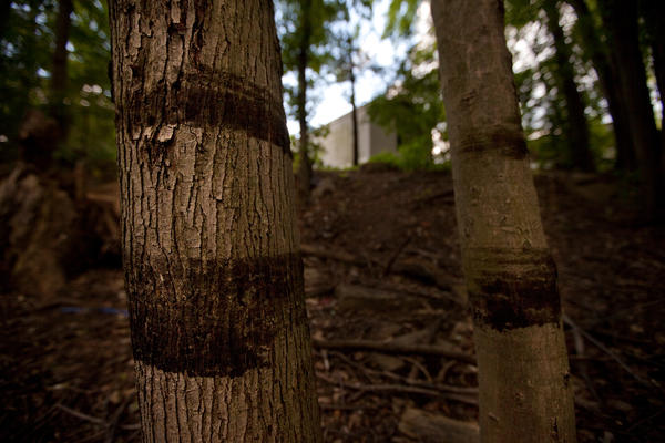 Oil rings on trees only 50 feet from the nearest home show the height of the oil and water, and its proximity to the Baker Estates Mobile Home Park in Battle Creek.