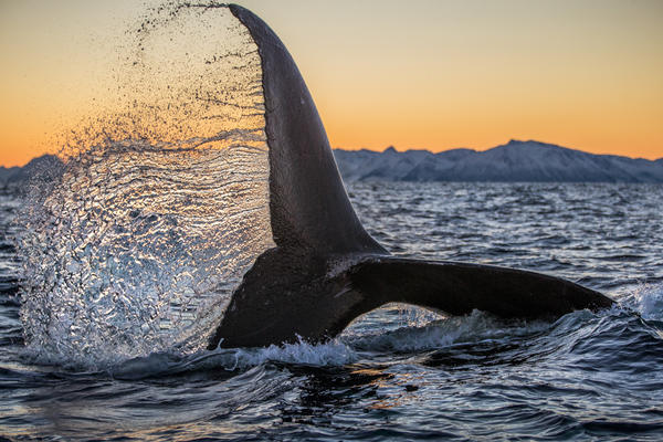 A humpback whale flings its tail high in the air as it dives down on a ball of herring near Lofoten, Norway. The winter months in Norway are a critical time of year for these whales to gorge and gain weight.
