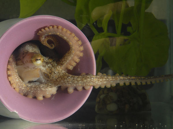 A California two-spot octopus extends a sucker-lined arm from its den. In 2015, this was the first octopus <strong></strong>species to have its full genetic sequence published.
