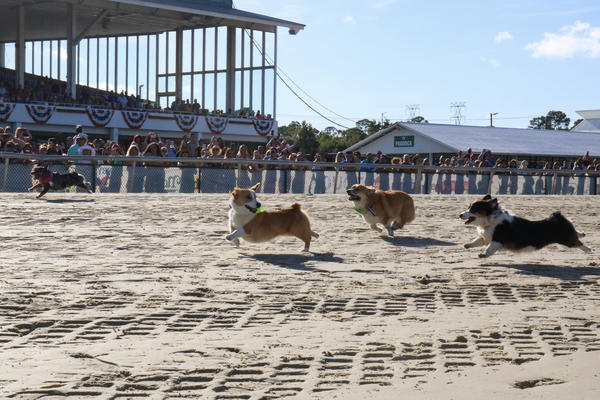 The corgi races this year were organized by Sunshine Corgi Rescue, a nonprofit that seeks to put misplaced corgis in their forever homes.