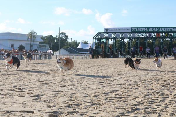 Corgis running at the Tampa Bay Downs.