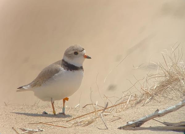 National Forest Service workers captured a photo of a piping plover they saw nearby the habitats they created weeks before.