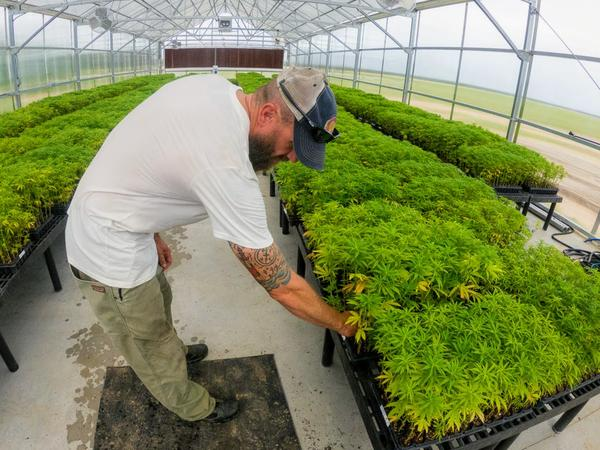P.J. Sneed checks on some of his hemp plants waiting to be planted at his farm in Plevna, Kansas.