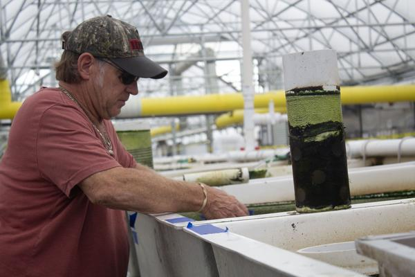 Eagle's Catch general manager Dave Block scoops tilapia out of a tank, and into a sorter to separate the fish by size.