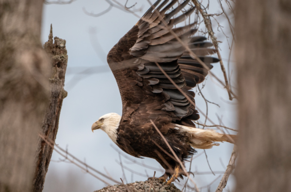 A bald eagle was first spotted in Winton Woods in January.