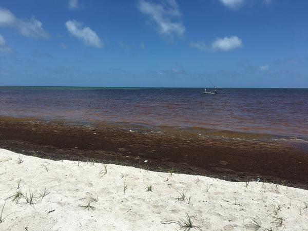 Sargassum on the shore of Islamorada in the Florida Keys.