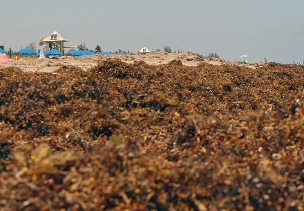 Scientists from USF College of Marine Science have discovered the world's largest seaweed bloom. It stretches from West Africa to the Gulf of Mexico.