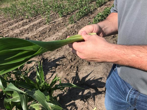 Corn tassels don't emerge from the stalk until the plant is more mature.