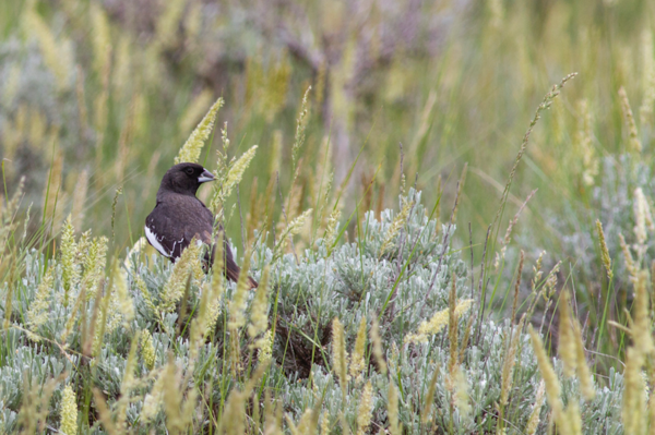 The lark bunting is Colorado's state bird