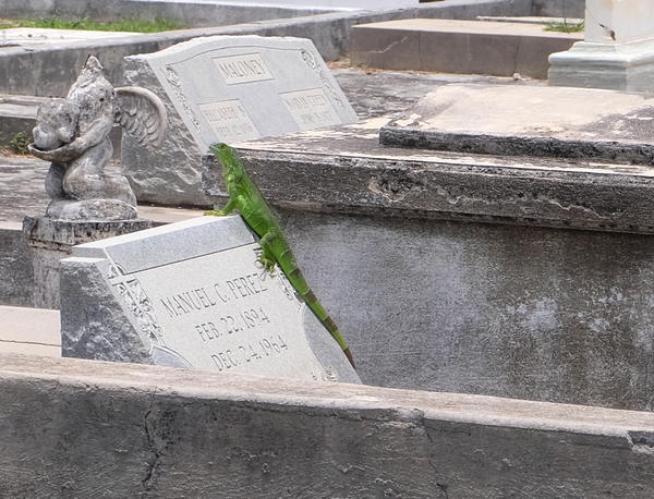 Iguanas are everywhere in Key West, including the island's historic cemetery.