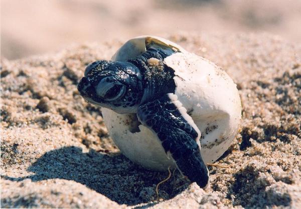 Hatching loggerhead sea turtle