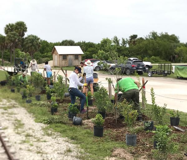 More than 20 volunteers planted native trees at the Historic Virginia Key Beach Park Friday afternoon.