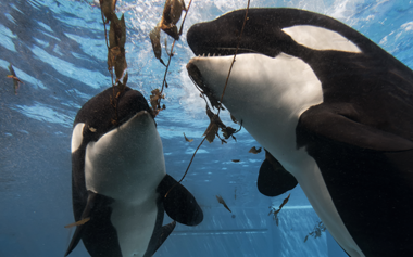 SeaWorld parks said it has no interest in turning over its captive orcas to the Whale Sanctuary Project.