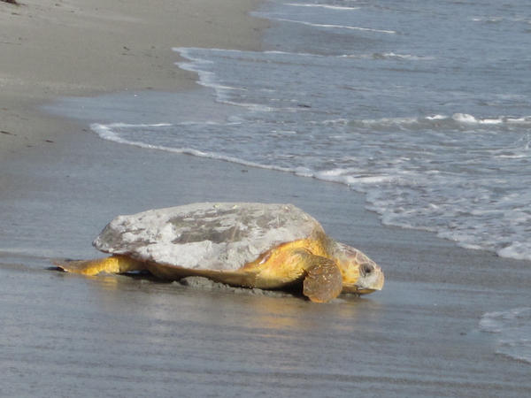 The loggerhead turtle is the most common sea turtle found in Florida. Females return to their nesting beach every two or more years.