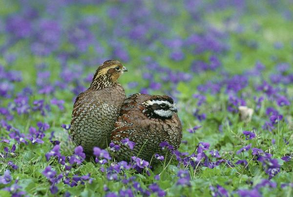 Northern bobwhite quail were once common in the southern half of Michigan's Lower Peninsula, but after massive habitat loss, the birds are now a rare sight.