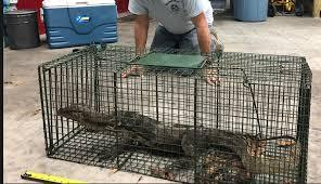 Trappers caught this water monitor in Key Largo in May.