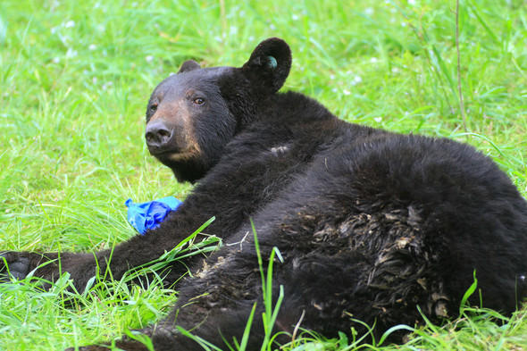 Black bear sightings are increasing in Missouri beyond the Ozarks region. The pictured male black bear was captured near Warrenton in 2016.
