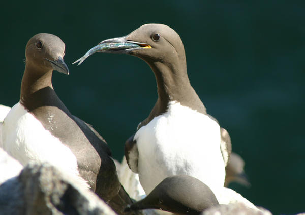 A common guillemot (<em>Uria aalge</em>) brings a sprat to feed to its chick. The laying dates of this species were followed for 19 consecutive years on the Isle of May, off the coast of southeast Scotland. According to a new paper in <em>Nature Communications, </em>many birds are adapting to climate change — but probably not fast enough.