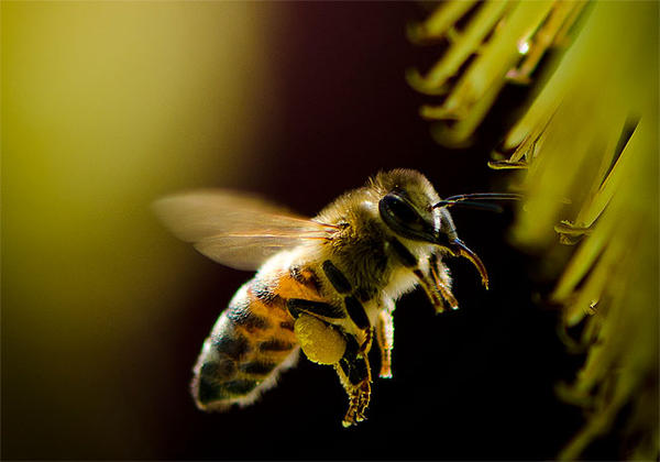 Sulfloxaflor causes nervous system damage and death in honeybees.