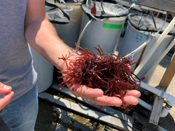 Dulse is the common name for a seaweed that has hints of bacon taste when cooked.