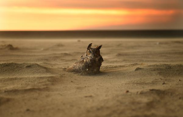 An owl sits on the beach in Malibu, Calif., on Nov. 9 as the Woolsey Fire approaches.