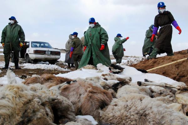 Herders bury animal carcasses in 2010 in Mongolia's Dundgovi province. A decade ago, an extreme winter — known in Mongolia as a <em>dzud</em> — claimed the lives of 22% of the nation's livestock and sped up migration from rural areas to urban centers.