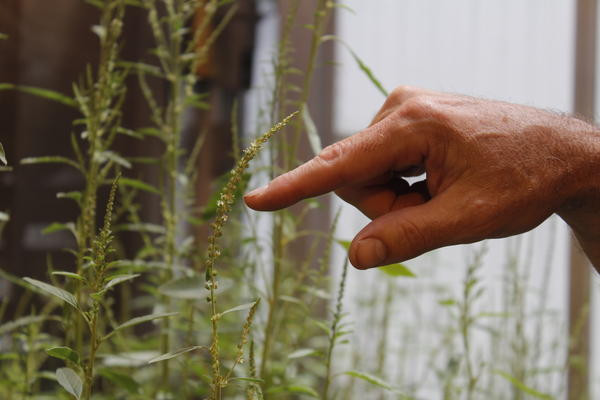 Professor Patrick Tranel points to male (right) and female (left) waterhemp plants in a greenhouse at the University of Illinois. To help control the species, he's trying to identify genes that determine the sex of the plant.