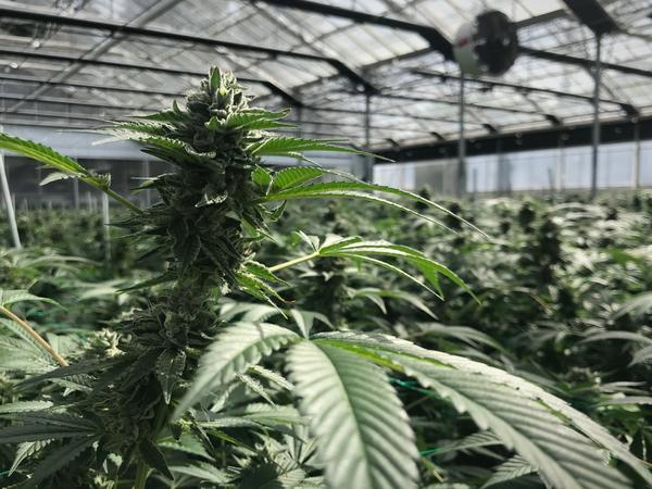 A cannabis flower at Glass House Farms in Carpinteria, Calif., is almost ready for harvest. This farm uses greenhouses, allowing for five harvests a year.