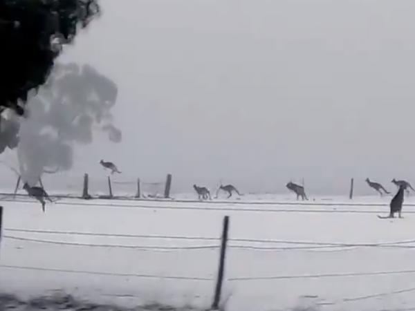 Kangaroos frolic in the Australian snow.