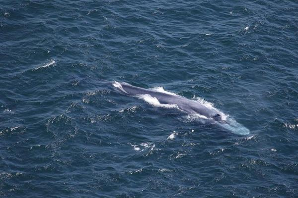 <p>Leigh Torres, a marine mammal researcher at Oregon State University, spotted a grouping of blue whales offshore of Bandon, Oregon, during a U.S. Coast Guard chopper ride-along in mid-July.</p>