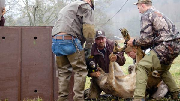 <p>Workers move a 159-pound white-tailed deer buck into a crate to be transported from a refuge in Wahkiakum County to one in Clark County, Wash. Biologists moved the deer because a dike could be breeched at any moment.</p>