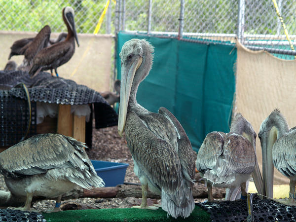 Brown Pelicans recovering at the Fort Jackson bird rehabilitation center in the aftermath of the BP oil spill.