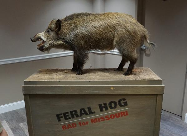 A taxidermied feral hog was on display at an open house in Rolla to get comment about hunting in the Mark Twain National Forest.