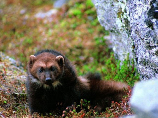 The North American Wolverine is proposed as threatened, but changes to how the Endangered Species Act is implemented could weaken its protections.