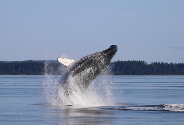 A humpback whale breaches in the Salish Sea.