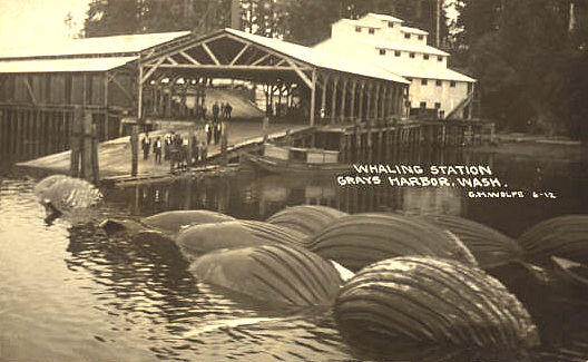 A whaling station operated from 1910-1925 at Bay City on Grays Harbor, Washington, owned by the Seattle-based American Pacific Whaling Co., which pursued humpbacks and other large whale species.