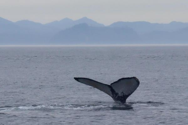 <p>One of many humpback whales seen feeding in the Strait of Juan de Fuca on Aug. 10.</p>