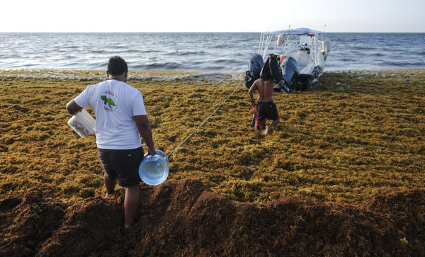 Men walk between the sargassum toward a boat in Playa del Carmen, Mexico, in May.
